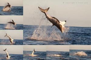 Shark breaching trips
