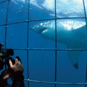 White Sharks in Captivity