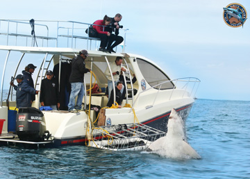 The Breaching Behaviour of Sharks