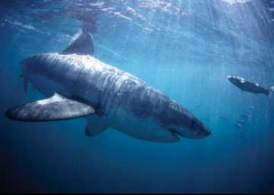 10 Interesting Facts About White Sharks