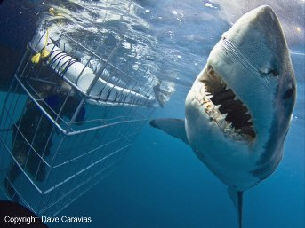 Great White Shark Cage Diving, Gansbaai Cape Town
