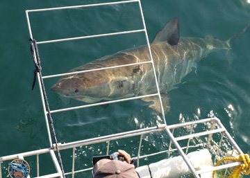 Shark cage diving packages