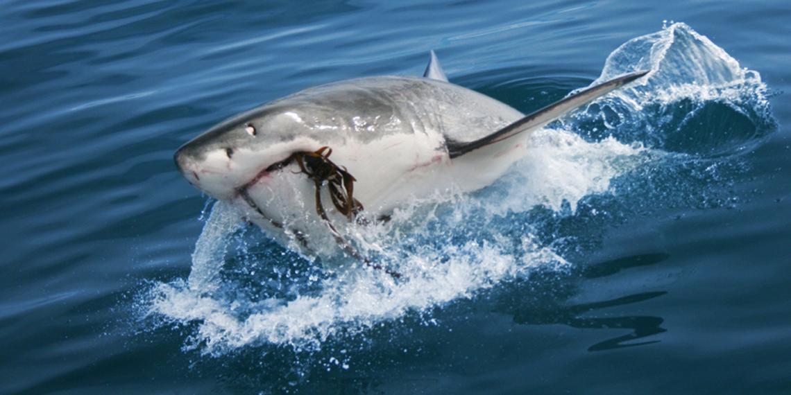 shark-9-BB