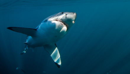 White Shark Diving Company Great White Shark