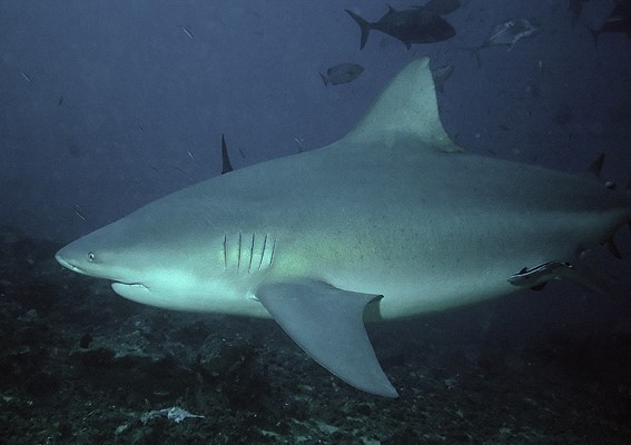 Biggest Sharks Ever Caught - Elite Facts |Worlds Largest Bull Shark