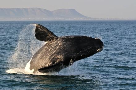 Breaching Whale , Hermanus