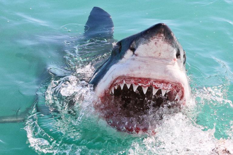 Shark breaching cape town