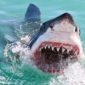 Myth-Busting – 5 Common Misconceptions About Great Whites