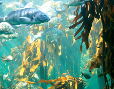 kelp forest , Gansbaai