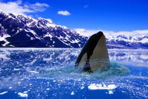Orca in the arctic