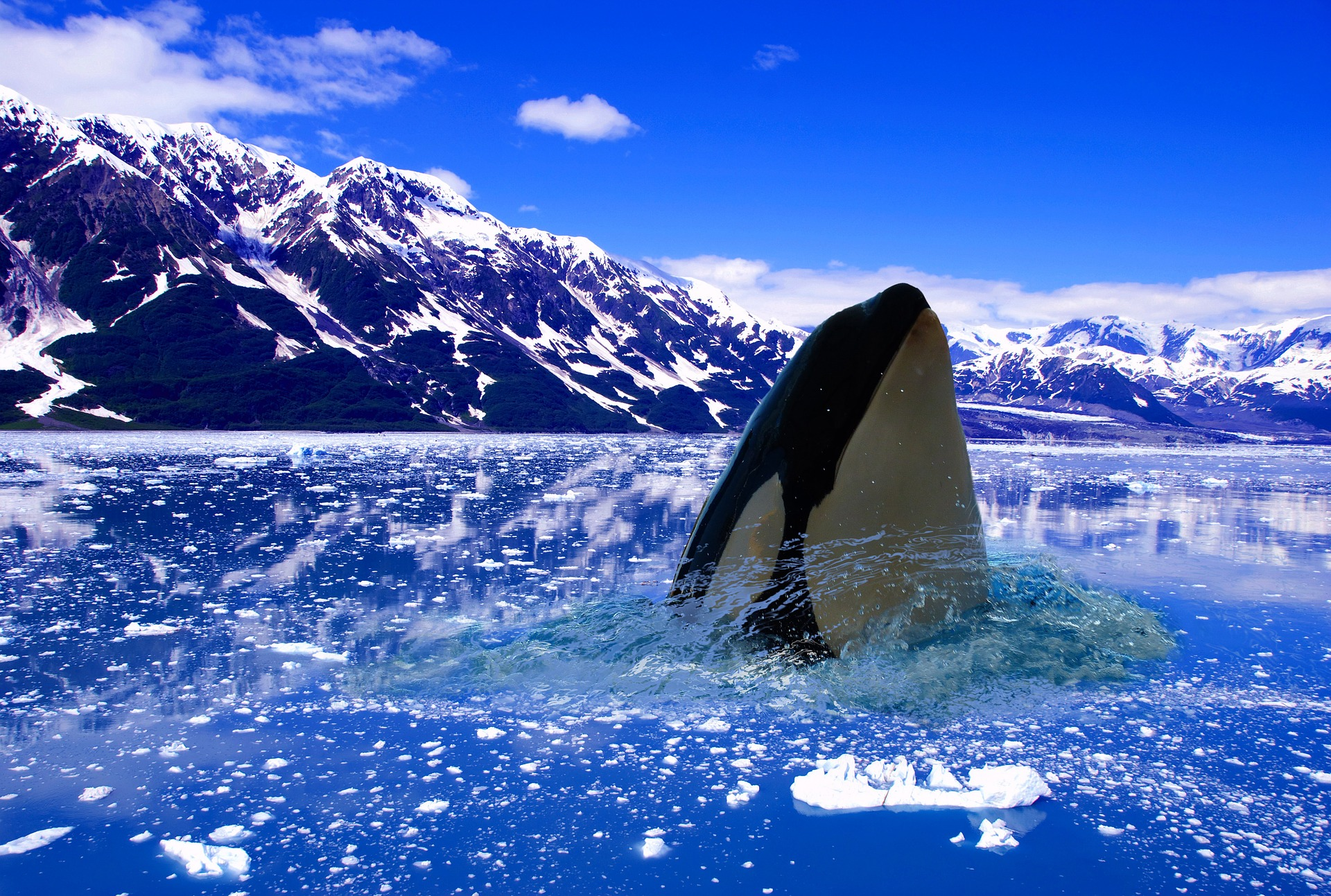Orcas are apex predators, meaning they head up the food chain and are essential to keeping the health of our oceans in balance. Officially called Orcinus orca, these creatures are also known colloquially as 'killer whales' – however, they are in fact not part of the whale family but the largest of the dolphin species.