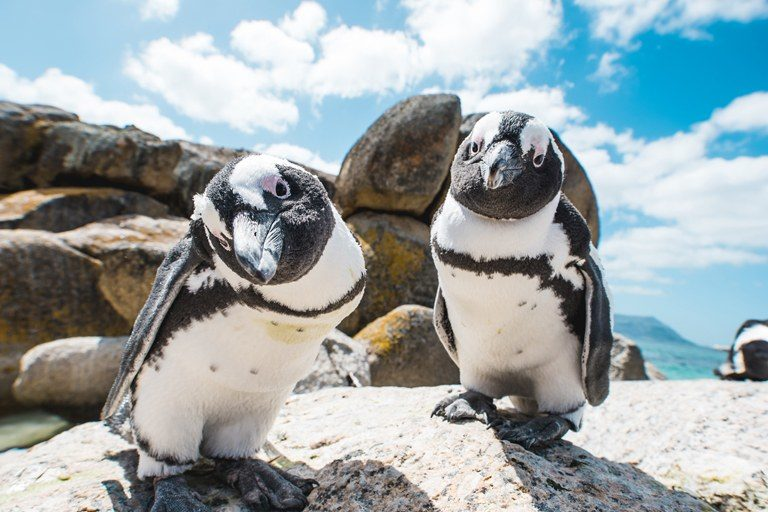 Cape African Penguin