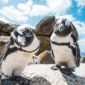 Plight Of The African Penguin