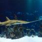 Sawfish – The World's Most Threatened Fish