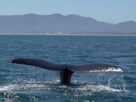 Whale Watching and Shark cage Diving