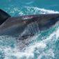 White Shark Threats and Ocras