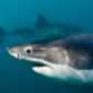 Orca vs. Great White Shark