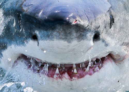 Great White Shark ampullae of Lorenzini