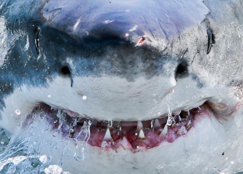 Great White Shark ampullae of Lorenzini