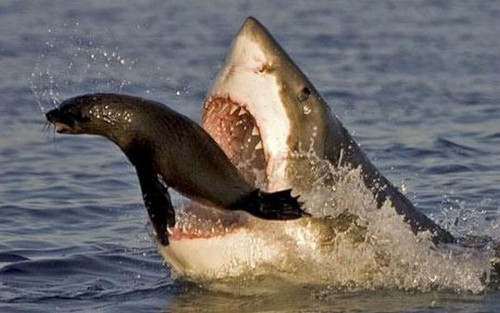 Shark predating on a seal in Cape Town