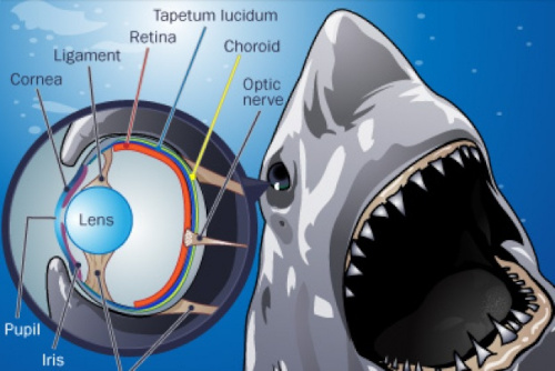 Learn about the Great White Sharks eye